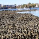 Lafayette River Oyster Reefs Thrive Through the Work of Partnering Organizations