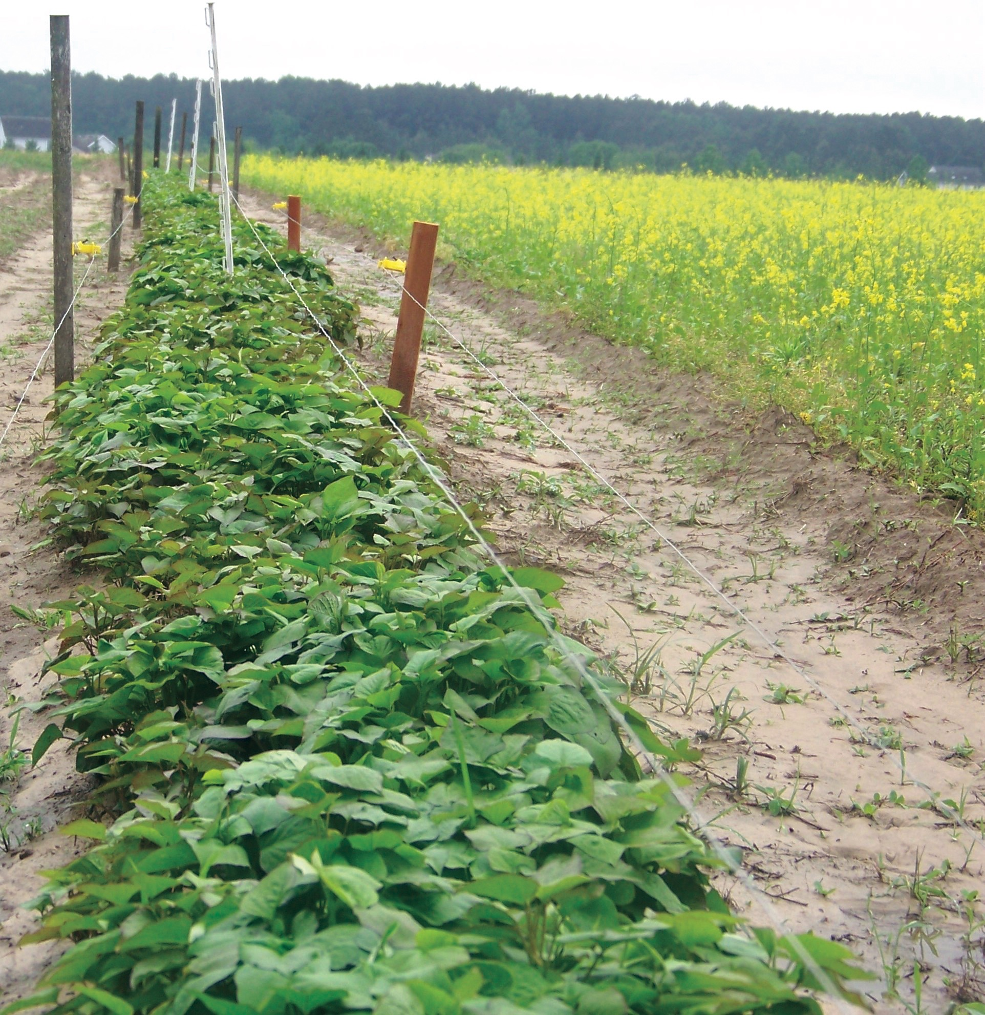 Orapeake Farms, potato farm, Suffolk