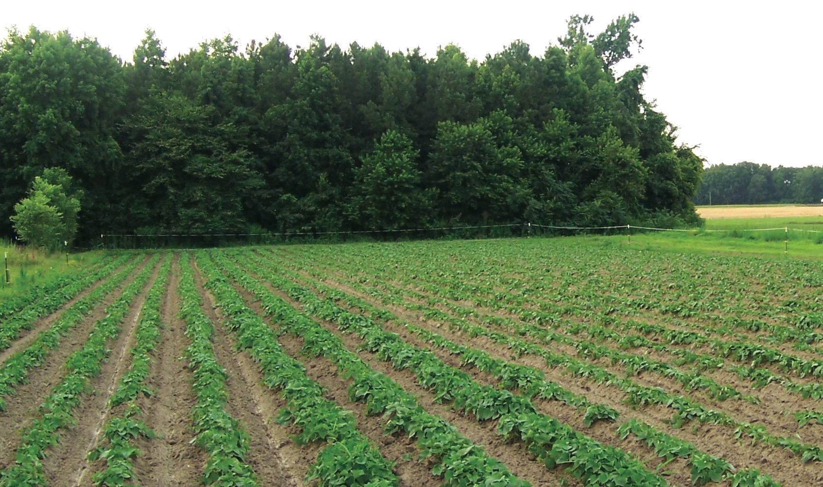 Orapeake Farms, heirloom potato farm, Suffolk